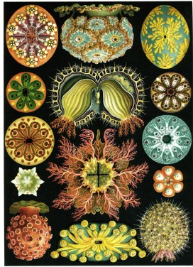 Ernst Haeckel Scientific Illustration
