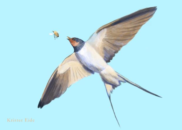 barn-swallow-final
