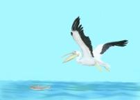eide-pilchuck-pelican