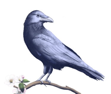Smiling-crow-crop